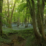 Bluebell Wood, Mayfield, East Sussex thumbnail