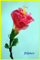 Fiore (fr@nco ... 'ntraficatu friscu! (=indaffarato)) Tags: fiore