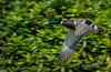 Male Mallard in Flight. (neil 36) Tags: flying mallard close up bird nature wildlife photographer neil hutchinson may bank holiday sunshine