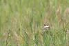 Machaon (Papilio machaon) (aurelien.ebel) Tags: alsace animal basrhin france insecte lawantzenau machaon papiliomachaonlinnaeus 1758 papilionidae papilioninae papillondejour rhopalocères
