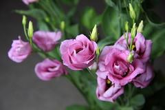 Flowers (19/52) (Stu.G) Tags: canoneos40d canon eos 40d canonefs1785mmf456isusm efs 1785mm f456 is usm england uk unitedkingdom united kingdom britain greatbritain d europe eosdeurope flower flowers pink pinkflowers project52 project 52 project522018 522018 5may18 12thmay2018 12th may 2018 may2018 12thmay 12518 120518 1252018 12052018
