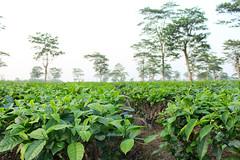 Tea plantation. Sonari, Assam, India (n1ck fr0st) Tags: tea plantation sonari assam india