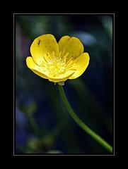Il favoloso mondo di Antelie (6) on Explore in May 17, 2018 - 205 (Jambo Jambo) Tags: ant formica fiore flower ranuncolo buttercup macro sonydscrx10m4 jambojambo