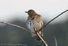 Song Thrush (Dougie Edmond) Tags: monkton scotland unitedkingdom gb bird birds nature wildlife burn water canon spring