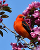 Scarlet Tanager (Photos By JM) Tags: birds highpark