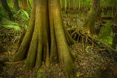 Near the Ogeechee River (MichaelSOwens) Tags: hdr ogeechee river swamp palmetto cypress georgia coastal plain bryancounty usa cypressknees