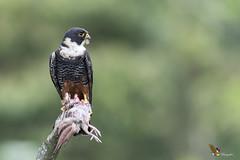 Bat Falcon (fernaabs) Tags: bat falcon falco rufigularis halcón cuelliblanco falconiformes falconidae aves fernaabs burgalin avesdecostarica