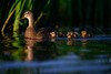 'Mother's Reeds' (Jonathan Casey) Tags: ducklings duck mallard norfolk broads water reeds nikon d850 400mm f28 vr