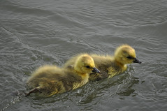 Canada Goslings (David.Sankey) Tags: birding birds birdingnyc rooseveltisland eastriver newyorkcity newyork nycbirding queens canadageese geese goslings ducks