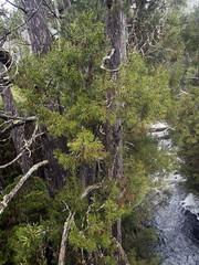 Pencil Pines, Athrotaxis cupressoides (Baractus) Tags: john oates rodney creek snake hill national park cradle mountain np tasmania australia pencil pines smooth tasmanian cedar athrotaxis cupressoides inala nature tours