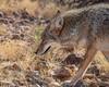 Coyote @ Arizona Sonora Desert Museum (mattybecks3) Tags: az arizona saguaronationalpark southwest tucson us usa hohokam ngc natgeo lonelyplanet coyote