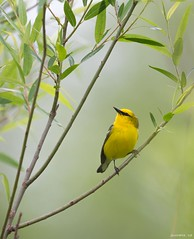 Blue-Winged Warbler (swmartz) Tags: nikon nature newjersey outdoors wildlife blue birds warbler spring may 2018