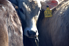 Brown Swiss #1668 (Mike McCall) Tags: copyright2018mikemccall photography photo image usa culture southern america thesouth unitedstates northamerica south georgia county burke waynesboro brownswiss brown swiss dairy cows bovine farm milk butter cream agribusiness agriculture bostaurus