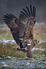 Wonder Wings (Mr F1) Tags: wild whitetailedeagle wonderwings nature outdoors johnfanning birdsofprey bop raptor eagle wildlife poland europe winter snow ice cold woodland forest remote wings detail feathers