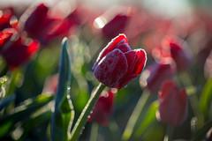 frozen tulips (diwan) Tags: germany deutschland saxonyanhalt sachsenanhalt börde sülzetal schwaneberg tulpen tulips feld field macro makro farben rot red colours bokeh frozen morgens morning outdoor canonef100mm128macrousm canoneos5dmarkiv canon eos 2017 geotagged geo:lon=11470821 geo:lat=52013818