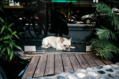 Frenchie (D. R. Hill Photography) Tags: dog frenchbulldog frenchie pet animal street streetphotography taiwan travel nikon nikond750 d750 nikon28mmf18g 28mm wideangle primelens fixedfocallength