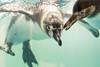 """So it's a 50mm looks like a fisheye from back there"" (Stickyemu) Tags: wildlife bird penguin water underwater sealife nikond7100 nikon50mm18 blackandwhite animal"
