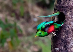 Resplendent Quetzal (donnatopham) Tags: paraisoquetzal costarica resplendent paraiso resplendentquetzal