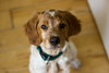 Oggy 29-04-2018 (s.davico) Tags: epagneul breton chiot puppy brittany spaniel french cute saintegrève isère
