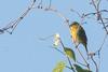 Painted Bunting (J.B. Churchill) Tags: birds jasper pabu paintedbunting places savannahnwr southcarolina sparrowstowhees taxonomy