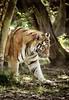 (Philippe Vieux-Jeanton) Tags: tigre tiger animal wild parcdesfelins lumignyneslesormeaux seineetmarne france sal55300 sonya6000 2018