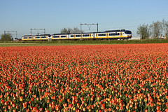 NSR Sprinters at Lisse, May 4, 2018 (cklx) Tags: lisse tulips tulpen spring holland 2018 red flowers sprinter