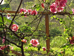 bougainvillea (DOLCEVITALUX) Tags: bougainvillea flowers flower flora fauna philippines canonpowershotsx50hs