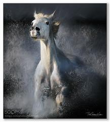 Sheer Power .... (KevinBJensen) Tags: power nature horses animals paul keates risu fuji xh1 100400mm