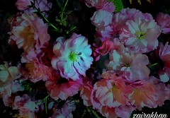 The best rejoicing company... (zairakhan) Tags: loveforflowers flora flowers nightpinkflowers bouquet