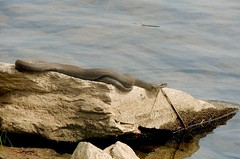 Northern Water Snake, Bucks County, PA, May 2018 (sstaedtler) Tags: snake reptile buckscounty herping pennsylvania
