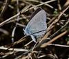 Bläuling (Hugo von Schreck) Tags: hugovonschreck schmetterling makro macro butterfly falter canoneos5dsr greatphotographers tamron28300mmf3563divcpzda010 buzznbugz