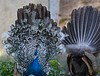 Frente e Verso (Front and Back) (Carlos Santos - Alapraia) Tags: peacock pavão ngc ourplanet animalplanet canon nature natureza wonderfulworld highqualityanimals unlimitedphotos fantasticnature birdwatcher ave bird pássaro