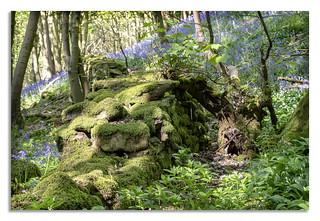 Bluebells in Yorkshire