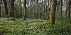 Spring (EvenHarbo) Tags: nikond7100 nikon norge norway forest green gausel gauselskogen nature naturreservat stavanger rogaland flowers trees tree