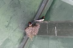 2018.05.10 Seaton (15) (Kotatsu Neko 808) Tags: seaton devon birds