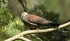 Nilgiri Wood Pigeon (arunprasad.shots) Tags: explore ngc pigeon nilgiris nilgiriwoodpigeon tamilnadu indianbirds birdsofindia wood tree perch forest briding prime nikon