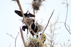 A colony of Double-crested Cormorants (Peachea) Tags: doublecrestedcormorant colonialwaterbird wildlife urbanwildlife birds colony