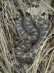 Eastern Massasaauga Rattlesnake (Nick Scobel) Tags: eastern massasauga rattlesnake rattler sistrurus catenatus michigan venomous snake pit viper grass water marsh swamp rattle pattern hidden camouflage