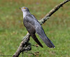 Cuckoo (Georgiegirl2015) Tags: cuckoo birds avian spring sunny wildlife woodlands parasite countryside canon thursleycommon dellalack may2018 meadow branch grey ef300mm surrey