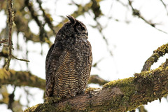 Great Horned Owl (PDX Bailey) Tags: owl horned great ridgefield washington wildlife refuge bark moss