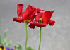 Side by side (tmattioni) Tags: standard 1927 harrywoods whentheredredrobincomesbobbobbobbin tulips red