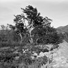 Methuselah Tree (squirtiesdad) Tags: sycamore rocks mountains outdoors brush bwfp diyfilmscanning selfdeveloped monochrome epson v600 agfa ansco pd16 clipper blackandwhite bw analogue analog aristaedu arista 120 film 616 summit valley methuselah highway 173 halfframe