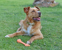 Jake enjoying his new Life.. (Harleynik Rides Again.) Tags: jake dog rescue dogstrust harleynikridesagain explore inexplore