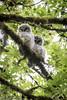 Baby Barred Owls (sharpeshooter1) Tags: barred owls nikon d750 sigma150600