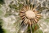 Seedlion? (Englepip) Tags: dandelion seeds abstract plant weed