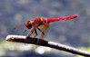 Before the wild blue yonder (TJ Gehling) Tags: insect odonata anisoptera dragonfly libellulidae meadowhawk cardinalmeadowhawk sympetrum sympetrumillotum cerritocreek elcerritoplaza ohlonegreenway elcerrito