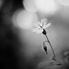 Fleur. (steph20_2) Tags: panasonic gh4 m43 45mm lumix macro closeup fleur flower monochrome monochrom noir noiretblanc ngc blanc black bw white skanchelli printemps spring carré square