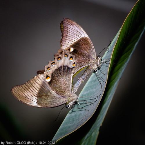 Maacher Päiperleksgaart - Parthenos sylvia or Papilionidae?