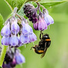 I hate changing these lightbulbs (Paul Wrights Reserved) Tags: bee bumblebee insect insects hanging working worker flower flowers wings colour colourful color colours coloured bokeh bokehphotography eye botanical flowering lol funny