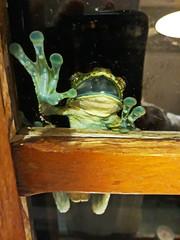 Help ! (alestaleiro) Tags: frog rã rana perereca batrachian batracio bactracio anfibio anfibius mouth window funny animal alestaleiro help sos ayuda socorro